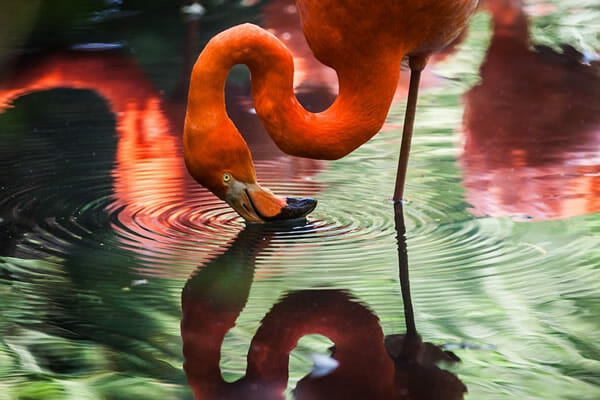 Pink flamingo reflected in water