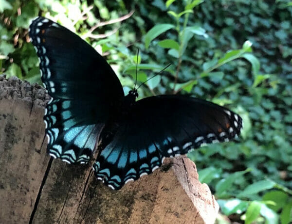 Backyard Shamanism: Find Your Power at Home class taught by Mara Bishop. Blue and black butterfly represents transformation and personal evolution through connection to animals, plants, elements and spirits of place