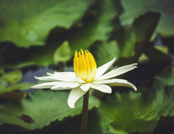 Shining Bright Without Burning Out course lotus flower in pond image. Spiritual Tools for Creating Healthy Energetic Boundaries in an Overconnected World, a Sounds True audio course coming 2022