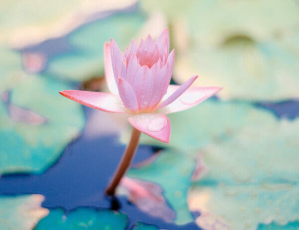 Pink lotus flower in pond – Navigating Your Energy Ecosystem provides tools to create healthy spiritual boundaries