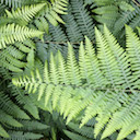 Green ferns overlapping, link to Mara's talk about Spiritual Healing, Personal Evolution and Shamanism at the Rhine Research Center.