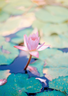 Pink lotus flower in pond – Navigating Your Energy Ecosystem provides tools to create healthy spiritual boundaries, enhance your aura, and evolve towards deep empowerment