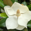 White gardenia flower with dark green leaves. Contact Mara and begin process of healing and growth, working with signs from nature