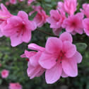 Pink azalea in backyard of WholeSpirit Center. Backyard Shamanism is possible even in urban settings.