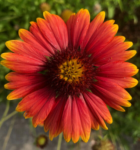red and yellow flower for wildflower meadow ceremony