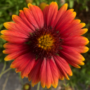 Red and Yellow flower. Mara is Sandra Ingerman's guest presenter for Shamans are Gardeners of Energy Group