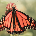 Monarch butterfly for Aspire Magazine article Are You Stagnating or Cocooning? 3 Ways to Support Your Transformation.